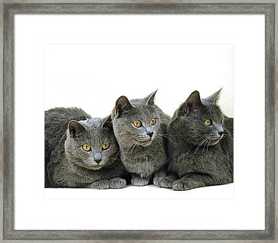 Chartreux Domestic Cat Framed Print by Gerard Lacz