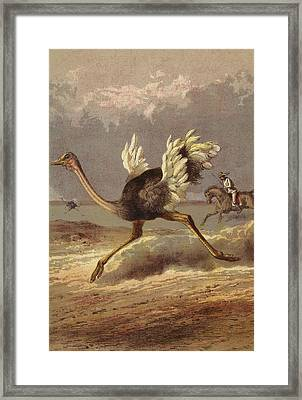 Chasing The Ostrich Framed Print by English School