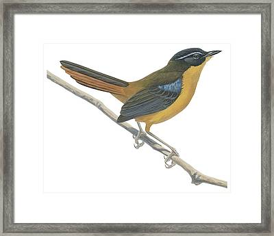 Chat Thrush  Framed Print by Anonymous