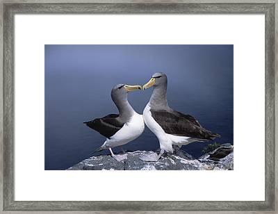 Chatham Albatross Courting Pair Chatham Framed Print