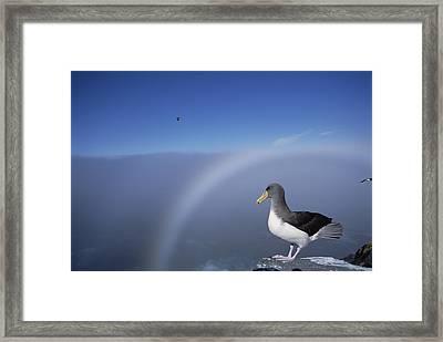 Chatham Albatross On Cliff Edge Chatham Framed Print