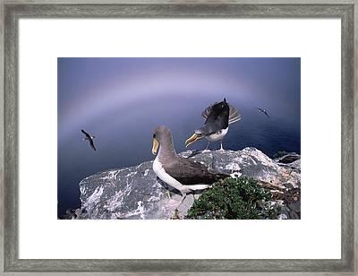 Chatham Albatross Pair On Cliff Chatham Framed Print