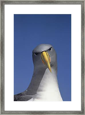 Chatham Albatross Portrait Chatham Framed Print