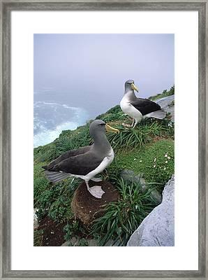 Chatham Albatrosses Nesting On A Cliff Framed Print