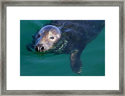 Chatham Harbor Seal Framed Print