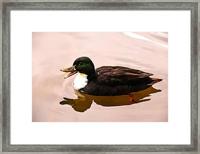 Chatty Duclair Duck Framed Print by Daniela Simona Temneanu
