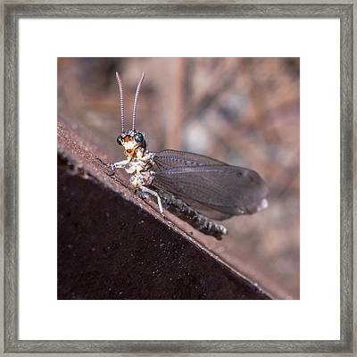 Chauliodes Framed Print
