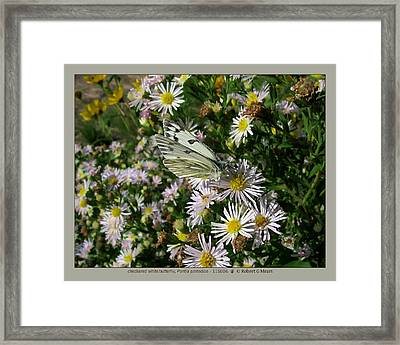 checkered white butterfly - Pontia protodice - 11SE06 Framed Print by Robert G Mears