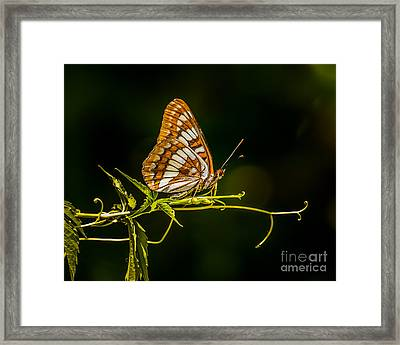 Checkerspot Butterfly Framed Print by Janis Knight