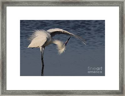 Checking For Leaks - Reddish Egret - White Form Framed Print by Meg Rousher