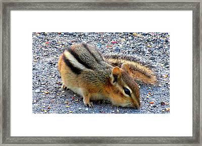 Cheeky Chipmunk Framed Print by Danielle  Parent
