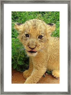 Cheeky Cub Framed Print by Ramona Johnston