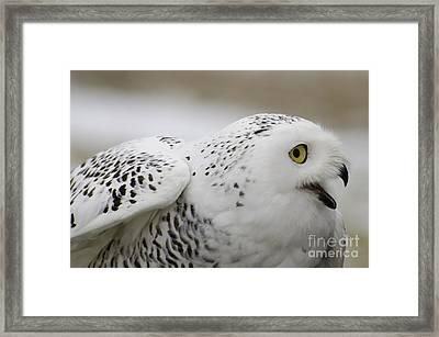 Cheeky Snow Owl Framed Print