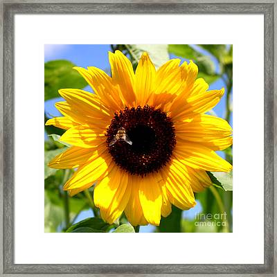 Cheerful Sunflower With Bee Framed Print by Carol Groenen