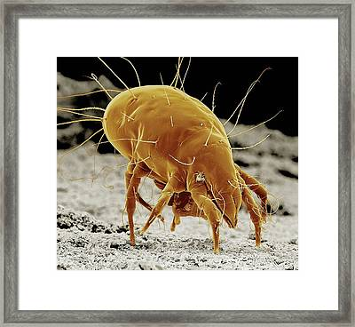 Cheese Mite Framed Print by Clouds Hill Imaging Ltd