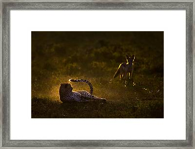 Cheetah Acinonyx Jubatus And Jackal Framed Print by Panoramic Images