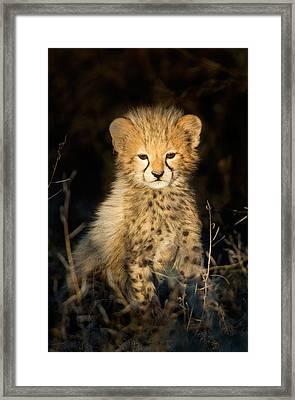 Cheetah Acinonyx Jubatus Cub Framed Print by Panoramic Images