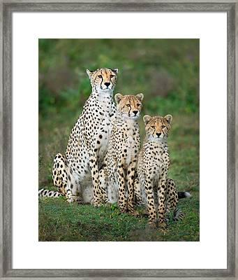 Cheetah Acinonyx Jubatus Family, Ndutu Framed Print by Panoramic Images