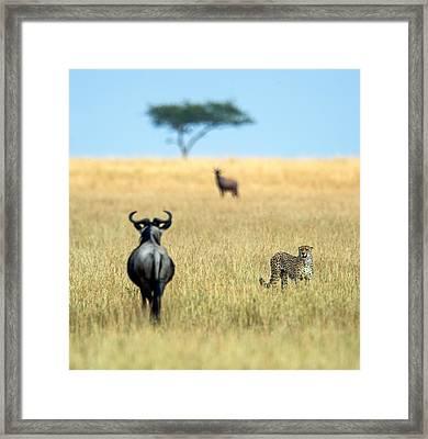 Cheetah Acinonyx Jubatus Framed Print