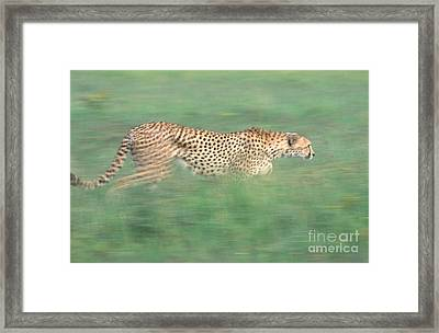 Cheetah Acinonyx Jubatus Running Framed Print by Art Wolfe