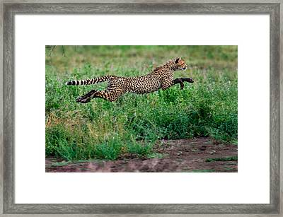 Cheetah Acinonyx Jubatus Running Framed Print