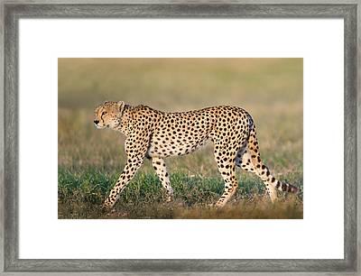 Cheetah Acinonyx Jubatus Walking Framed Print by Panoramic Images