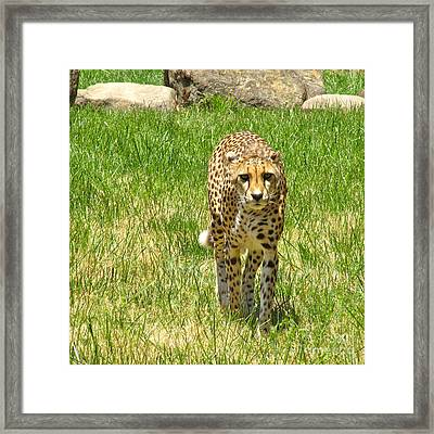 Framed Print featuring the photograph Cheetah Approaching by CML Brown