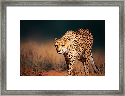 Cheetah Approaching From The Front Framed Print by Johan Swanepoel