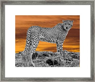 Cheetah At Dusk Framed Print by Larry Linton