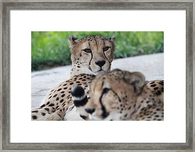 Cheetah Awakening Framed Print by Dan Sproul