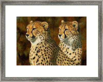 Cheetah Brothers Framed Print by David Stribbling