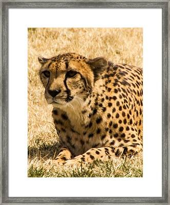 Framed Print featuring the photograph Cheetah by Cathy Donohoue