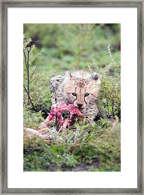 Cheetah Cub Acinonyx Jubatus Eating Framed Print