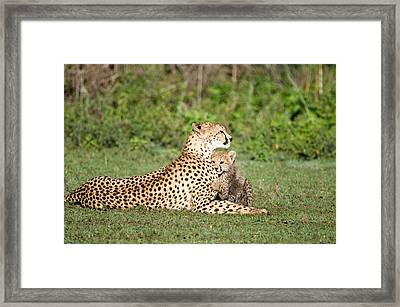 Cheetah Cub Acinonyx Jubatus Playing Framed Print
