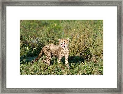 Cheetah Cub Acinonyx Jubatus Yawning Framed Print by Panoramic Images