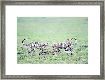 Cheetah Cubs Acinonyx Jubatus Hunting Framed Print