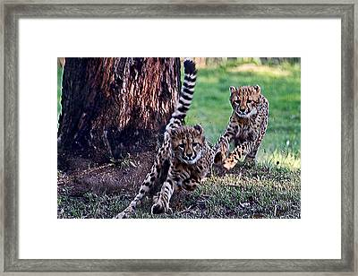 Cheetah Cubs Framed Print