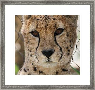 Cheetah Eyes Framed Print by Dan Sproul