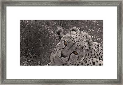 Cheetah Eyes Framed Print