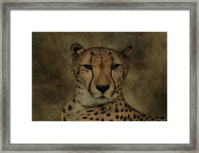 Cheetah Face Framed Print by Dan Sproul