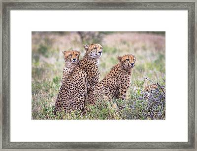 Cheetah Family Framed Print