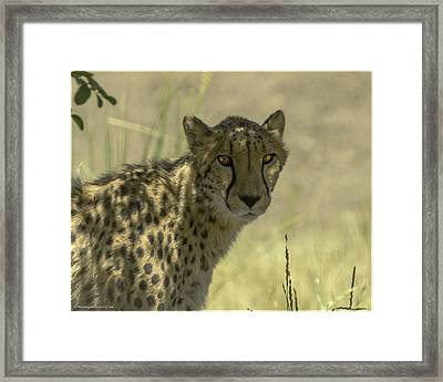 Cheetah Gaze Framed Print by LeeAnn McLaneGoetz McLaneGoetzStudioLLCcom