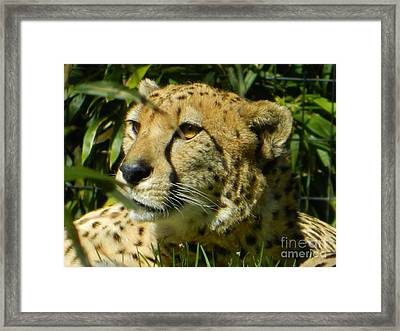 Cheetah In A Daze Framed Print by Emmy Marie Vickers