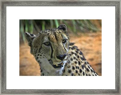 Cheetah Framed Print by Kim Andelkovic