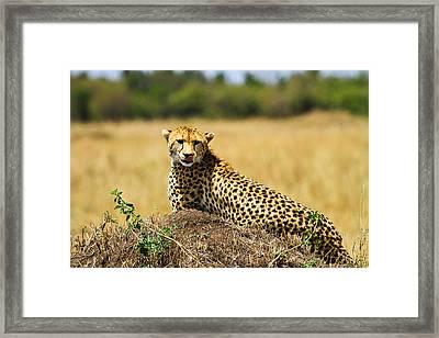 Cheetah Framed Print by Kongsak Sumano