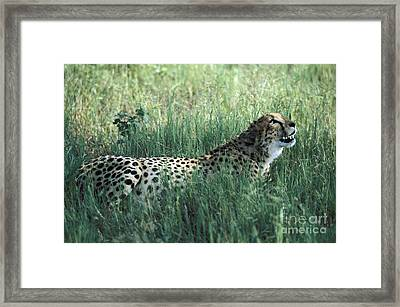 Cheetah Framed Print by Mark Newman