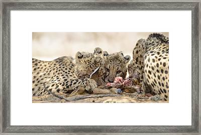Cheetah Meal Framed Print