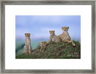 Cheetah Mother And Cubs Masai Mara Framed Print by Yva Momatiuk John Eastcott