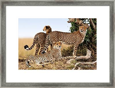 Cheetah Mother And Two Older Cubs In Masai Mara Framed Print by Maggy Meyer