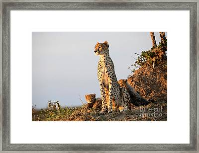 Cheetah Mother With Cubs Framed Print